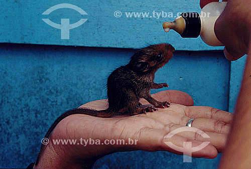 Ambiental - Resgate de animais na inundação da construção da Hidrelétrica Tucuruí - detalhe de animal na palma da mão, sendo alimentado com mamadeira com leite - PA - Brasil  - Tucuruí - Pará - Brasil