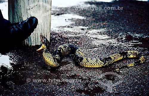 Ambiental - Animais - Cobra - Resgate de animais na inundação da construção da Hidroelétrica Balbina - AM - Brasil  - Presidente Figueiredo - Amazonas - Brasil