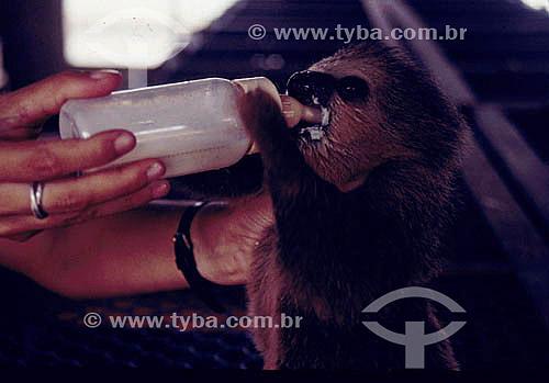 Ambiental - Resgate de animais na inundação da construção da Hidrelétrica Tucuruí - detalhe de animal sendo alimentado com mamadeira com leite - PA - Brasil  - Tucuruí - Pará - Brasil