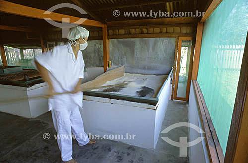 Secagem da farinha de mandioca em
