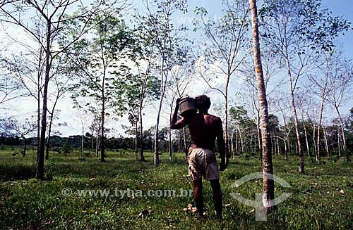 (Hevea brasiliensis) Seringueiro em meio a um seringal, árvores com marcas de corte para extração de látex para produção posterior de borracha - Amazônia - Brasil