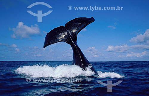 Cauda de Baleia Jubarte - Arquipélago de Abrolhos  - Costa das Baleias - litoral sul da Bahia - Brasil / Data: 2007  O Parque Nacional Marinho de Abrolhos foi criado em 6 de abril de 1983.