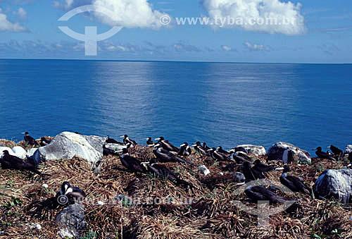 Ninho de Caravelas - Arquipélago de Abrolhos  - Costa das Baleias - litoral sul da Bahia - Brasil  O Parque Nacional Marinho de Abrolhos foi criado em 6 de abril de 1983.  - Caravelas - Bahia - Brasil