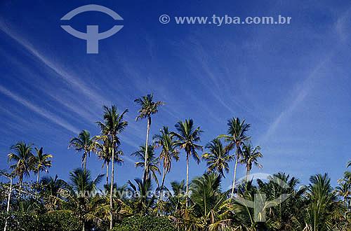 Coqueiros em Caraíva - litoral sul da Bahia - Brasil  - Porto Seguro - Bahia - Brasil