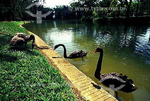 Cisnes negros em um lago em São Lourenço, interior de Minas Gerais - Brasil  - São Lourenço - Minas Gerais - Brasil