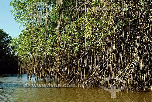 (Rhizophora mangle) Manguezal na Ilha de Marajó - Pará - Brasil  - Belém - Pará - Brasil