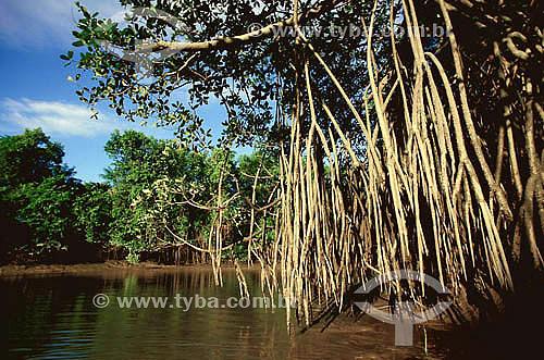 (Rhizophora mangle) Mangue-vermelho - Ilha de Marajó - Pará - Brasil  - Belém - Pará - Brasil