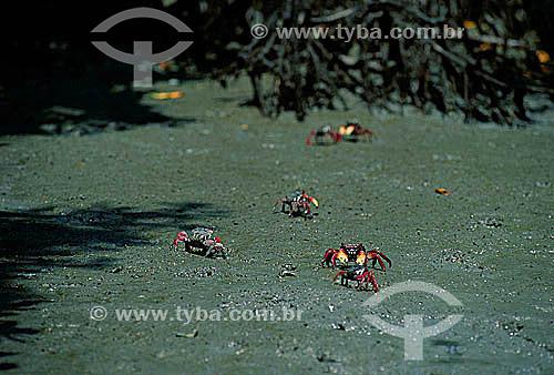 Assunto: Caranguejos do manguezal na entrada da restinga de Marambaia, que pela rica diversidade é local de preocupação e pesquisa de ambientalistas / Local: Barra de Guaratiba - Rio de Janeiro (RJ) - Brasil / Data: 1996
