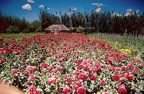 Campo de flores e cabana na Ilha dos Marinheiros  - Rio Grande - Rio Grande do Sul (RS) - Brasil