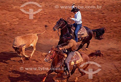 Vaqueiros à cavalo e novilho na prova de laço comprido - Festa do Peão Boiadeiro - Rodeio - Barretos - SP - Brasil  - Barretos - São Paulo - Brasil