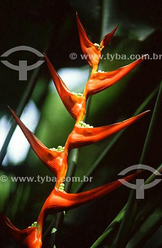 Flor Bico-de-papagaio (Heliconia sp.)