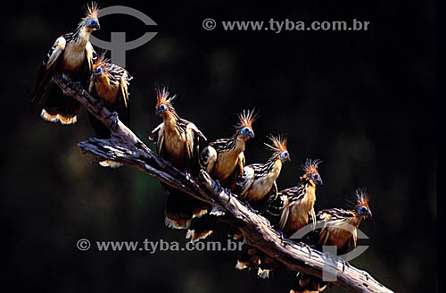 (Opisthocomus hoazin) - Cigana - Amazônia - Brasil