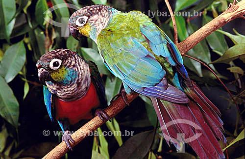 (Pyrrhura perlata rhodogaster or Pyrrhura perlata perlata) (Sclater) - Tiriba-de-barriga-vermelha - dupla ou casal de pássaros - Amazônia - Brasil