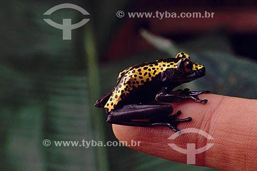 (Hyla geographica) - rã - Amazônia - Brasil