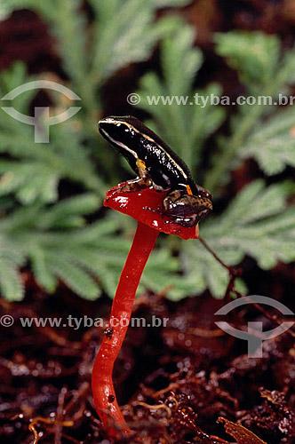 (Epipedobates femoralis) - sapo - Amazônia - Brasil