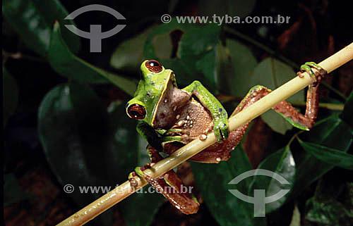 (Phyllomedusa bicolor) Sapo Verde - Amazônia - Brasil