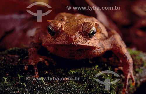 (Bufo typhonius) - sapo - Amazônia - Brasil
