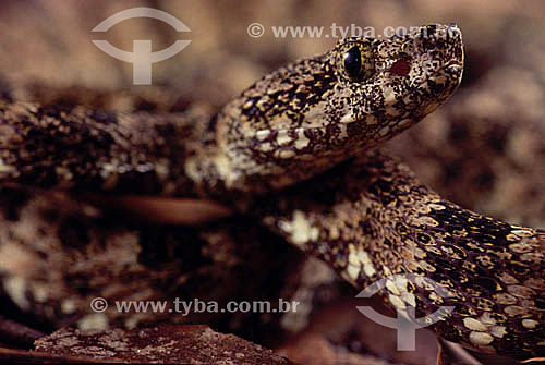 (Bothrops leucurus) Jararaca - Amazônia - Brasil