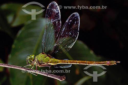 Animais - Insetos - Libélula - Amazônia - Brasil