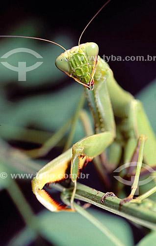 (Mantis religiosa) Louva-a-Deus - detalhes das patas e cabeça - Amazônia - Brasil