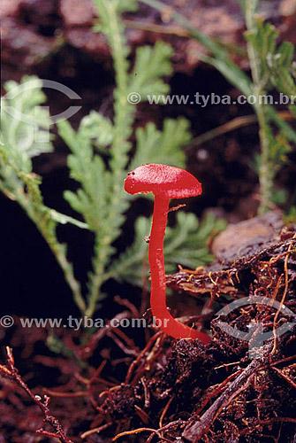 Cogumelo vermelho - Amazônia - Brasil