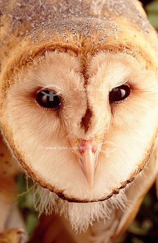 (Tyto alba) Coruja Suindara ou Coruja-das-torres Close-up da cabeça - Caatinga - Brasil