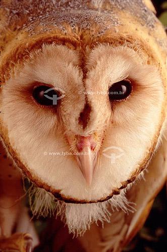 (Tyto alba) Coruja Suindara ou Coruja-das-torres- Close-up da cabeça - Caatinga - Brasil