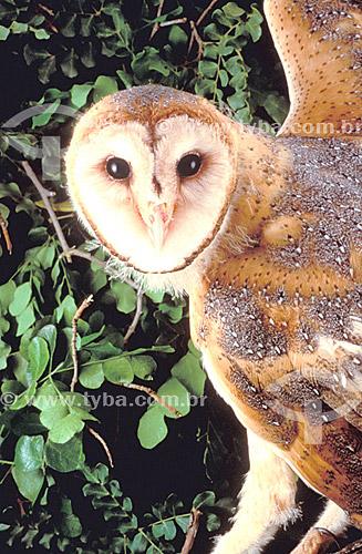 (Tyto alba) Coruja Suindara ou Coruja-das-torres- Cabeça e asas - ocorre em todo o Brasil