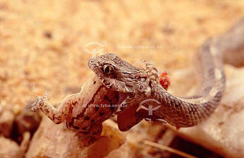 (Thamnodynastes pallidus) Limpa-Campo ou Corre-Campo devorando sapo - Caatinga - Brasil