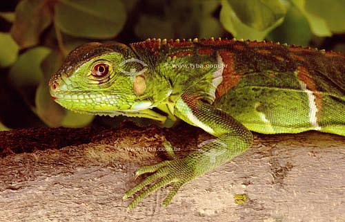 (Iguana iguana) Iguana Verde, Sinimbu (filhote) - lagarto - Caatinga - Brasil