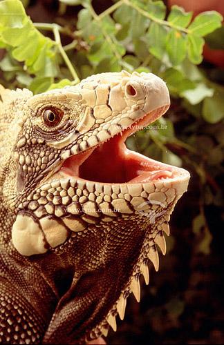 (Iguana iguana) Iguana Verde ou Sinimbu com a boca aberta- lagarto - Caatinga - Brasil