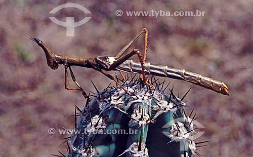 (Phasmatodea) - Bicho-Pau ou