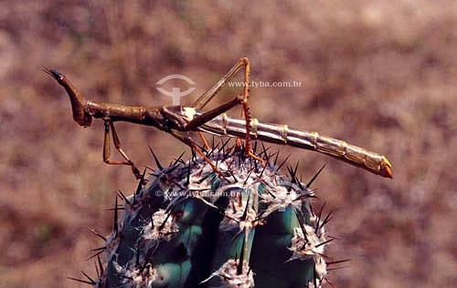 (Phasmatodea) Bicho-Pau ou Mané-Negro - Caatinga - Brasil