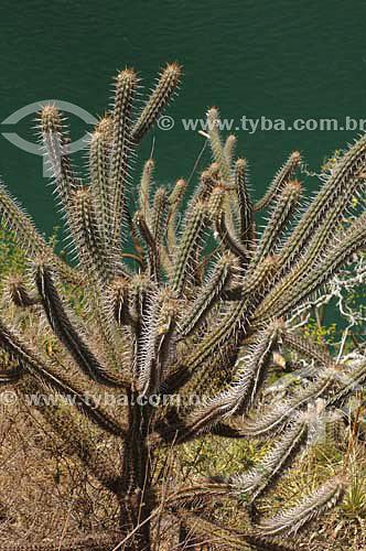 Cactus tipo Mandacaru na margem do Rio São Francisco - Alagoas - Brasil - Março 2006  - Piranhas - Alagoas - Brasil
