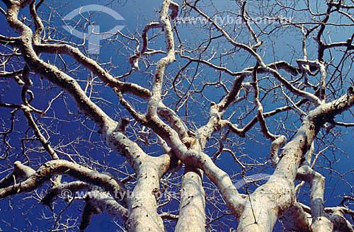 (Commiphora leptophloeos) Umburana - árvore - Caatinga - Brasil