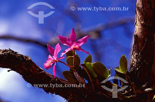 Assunto: (Cattleya sp) Orquídea Cattleya - Cerrado / Local: Tocantins (TO) - Brasil / Data: 2002