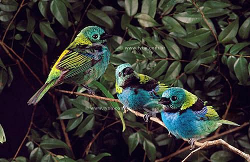 (Tangara seledon) Saíra de Sete Cores - Mata Atlântica - Brasil