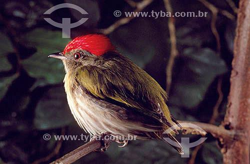 (Machaeropterus regulus) Tangará-Rajado ou Dançarino-de-Coroa-Vermelha (macho) - Mata Atlântica - Brasil