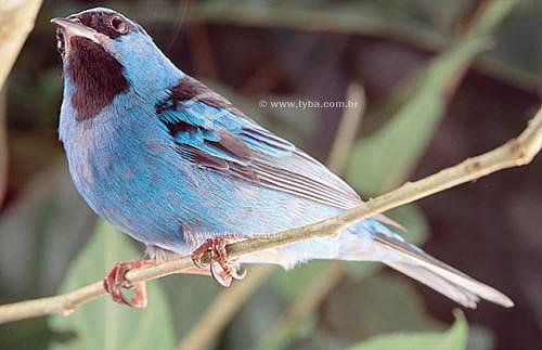 (Dacnis cayana) Saí-Azul - Mata Atlântica - Brasil