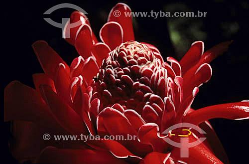 (Phaeomeria magnifica) Bastão do Imperador - flor - Mata Atlântica - Brasil
