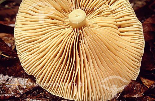Cogumelo - Mata Atlântica - Brasil