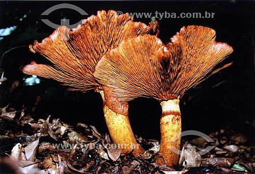 Fungo ou  cogumelo - Floresta da Tijuca  - Rio de Janeiro - RJ - Brasil Patrimônio Histórico Nacional desde 27-04-1967.   - Rio de Janeiro - Rio de Janeiro - Brasil