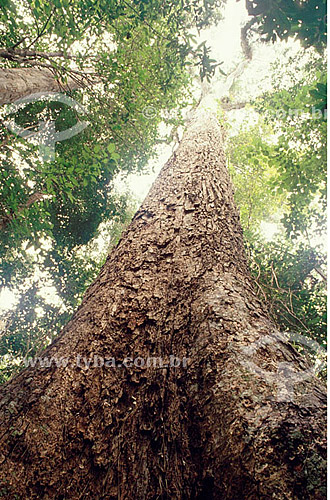 Tronco de Lecythidaceae