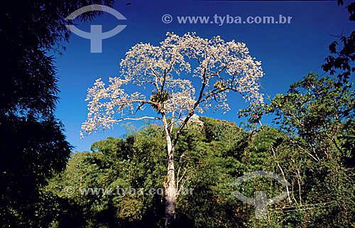 (Ceiba glaziovii) Barriguda - Mata Atlântica - Serra de Baturité - CE - Brasil / Data: 2010