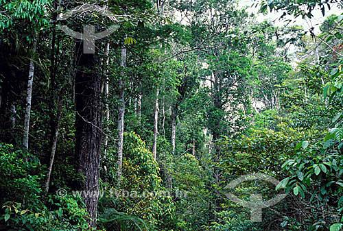 Mata Atlântica Sul-baiana - a árvore principal é a Mucitaiba-Preta (Zollernia latifolia Benth) - Porto Seguro - BA - Brasil / Data: 2009