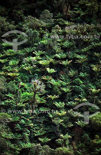 Fisionomia peculiar de Floresta Atlântica de encosta, com abundância de samambaias arborescentes - sul do Brasil