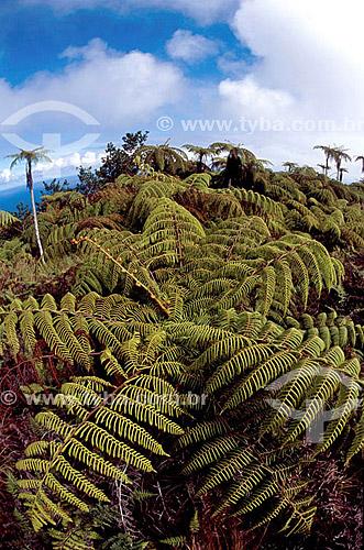 Samambaias gigantes - Ilha da Trindade - ES - Brasil  - Vitória - Espírito Santo - Brasil