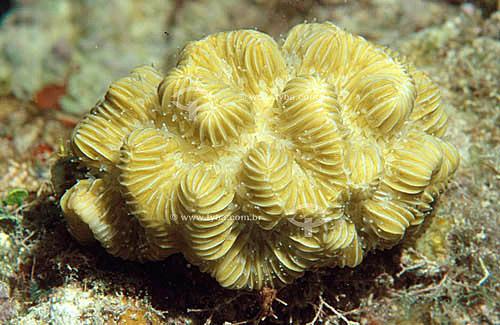 Coral Labirinto (Meandrina braziliensis) - Arquipélago de Abrolhos  - Costa das Baleias - litoral sul da Bahia - Brasil  O Parque Nacional Marinho de Abrolhos foi criado em 6 de abril de 1983.  - Caravelas - Bahia - Brasil