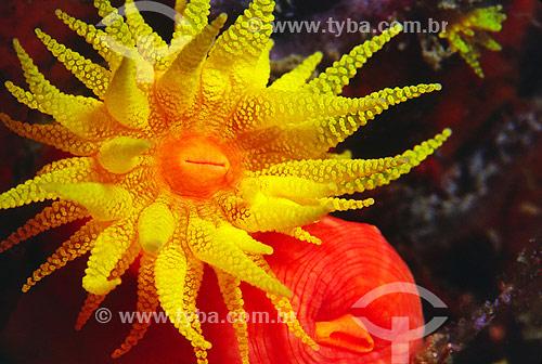 Coral Sol (Tubastrea) - Angra dos Reis - RJ - Brasil  - Angra dos Reis - Rio de Janeiro - Brasil