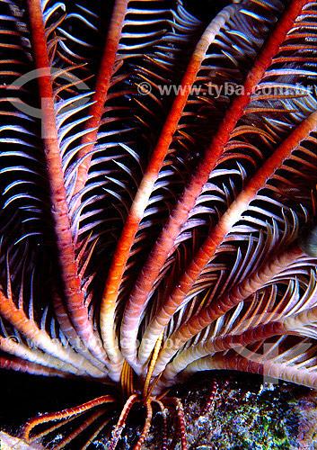 Assunto: Lírios-do-mar - também conhecido como Crinóides - no Mar Vermelho / Local: Egito - África / Data: 05/2002